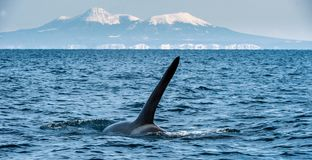 Orca or killer whale, Orcinus Orca royalty free stock photos