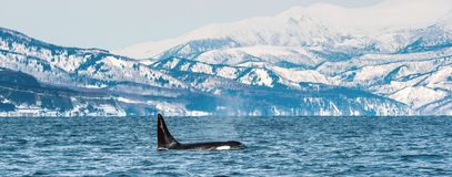 Orca or killer whale, Orcinus Orca. Travelling in Sea of Okhotsk, Snow-covered mountains on the background stock photo
