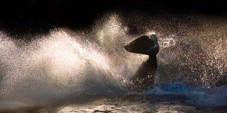 Orca Killer Whale Splashing Water At Sunset royalty free stock image