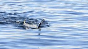 Orca, Killer Whale. Swiming towards ship in Antarctica stock video