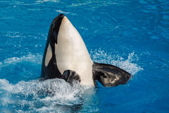 Orca killer whale while swimming. To you stock photo
