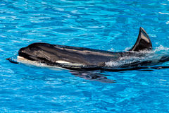 Orca killer whale while swimming. To you royalty free stock image