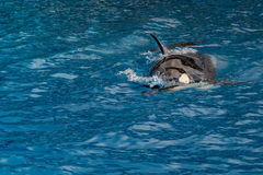 Orca killer whale while swimming. Too you royalty free stock images