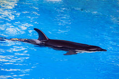 Orca killer whale while swimming. Too you royalty free stock photography