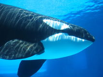 Orca (killer whale) swimming underwater Royalty Free Stock Photos
