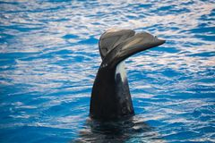 Orca killer whale waving its tail stock image