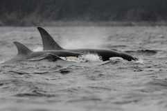 Orca killer whales. On Witless Bay off the east coast of Newfoundland royalty free stock photography