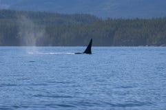 Orca maschio Immagine Stock
