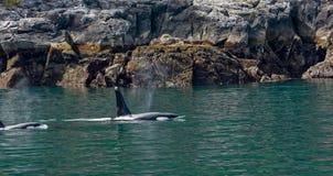 Orca mom and kid along rocky coast Royalty Free Stock Photography