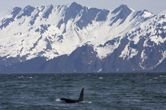 Orca and Mountains Royalty Free Stock Photography