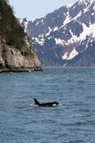 Orca and Mountains, II Royalty Free Stock Image