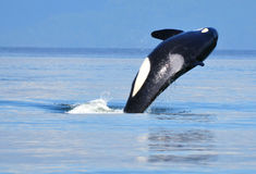 Orca near Vancouver, BC. Doing a flip royalty free stock photography