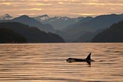 Orca no alvorecer fotografia de stock royalty free