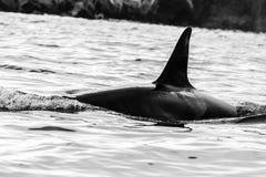 Orca no habitat natural, península de Kamchatka da baleia de assassino, Rússia fotos de stock royalty free