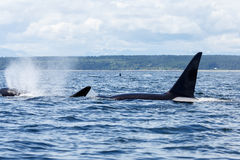 Orca o orca imagen de archivo