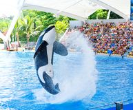 Orca ocean show Stock Photography