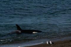 Orca - Orca beaching on punta norte, patagonia argentina. Orca beaching on Punta Norte , Peninsula Valdes , Argentina stock image