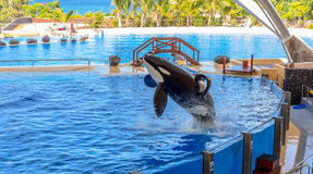 Orca Out of Water Stock Photo