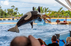 Orca Pirouette. A killer whale performing a pirouette during a water show Royalty Free Stock Image