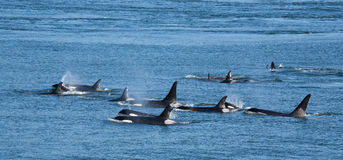 Orca Pod. A pod of Southern Resident orcas in British Columbia, Canada stock photo
