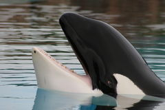 Orca prisioneira   imagens de stock