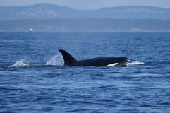 Orca que alimenta no San Juan Islands Foto de Stock Royalty Free