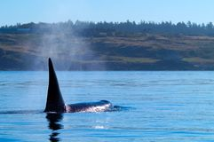 Orca que alimenta no San Juan Islands Fotografia de Stock Royalty Free