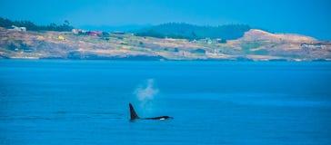 Orca que pasa por la costa de la Columbia Británica foto de archivo libre de regalías