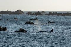 Orca que procura rochas pela rapina fotografia de stock