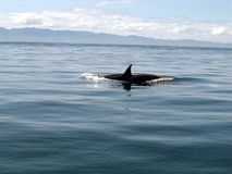 Orca que salta del agua (orca del Orcinus) Fotografía de archivo