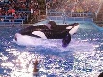 Orca que salta del agua (orca del Orcinus) Imagen de archivo