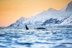 Orca que salta del agua (orca del Orcinus) foto de archivo