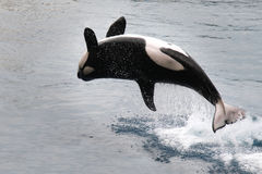 Orca que salta del agua (orca del Orcinus) fotografía de archivo libre de regalías