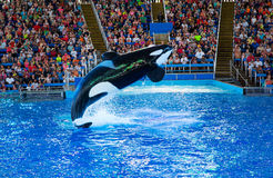 Orca at SeaWorld. An adult orca breaches during the Sea World Shamu Show in San Antonio Texas royalty free stock image