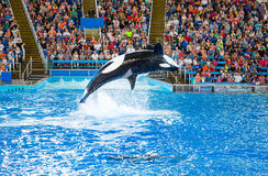 Orca at Seaworld. An adult orca breaches during the Seaworld Shamu Show in San Antonio Texas stock photography