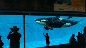 Orca at Seaworld. Underwater image of orca with observers Stock Images