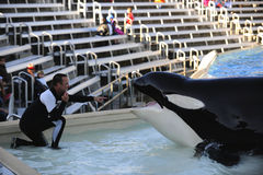 Orca show royalty free stock photos
