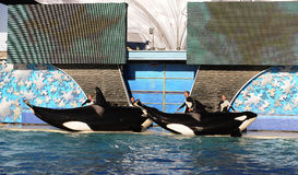 Orca show Stock Photos