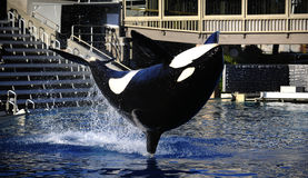 Orca show Royalty Free Stock Photography