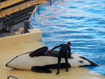 Orca show, Loro Park. Tenerife, Canary Islands, Spain. Probably of the most exciting things I've seen in my life! The killer whale or orca is a toothed royalty free stock photo