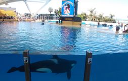 Orca show, Loro Park. Tenerife, Canary Islands, Spain. Probably of the most exciting things I've seen in my life! The killer whale or orca is a toothed stock images