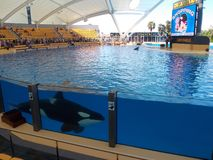 Orca show, Loro Park. Tenerife, Canary Islands, Spain. Probably of the most exciting things I've seen in my life! The killer whale or orca is a toothed stock photography