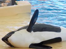 Orca show, Loro Park royalty free stock photo