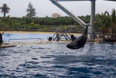 Orca show Stock Photos