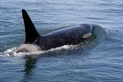 Orca Spray Royalty Free Stock Photos
