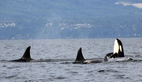 Orca Spy hopping with Pod of Resident Orcas of the coast near Sechelt, BC. Resident pod of Orca`s aka Killer Whales, of the coast of British Columbia Canada stock photography