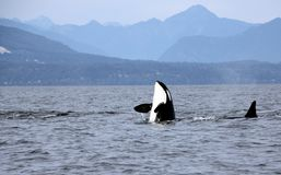 Orca Spy hopping with Pod of Resident Orcas of the coast near Sechelt, BC. Resident pod of Orca`s aka Killer Whales, of the coast of British Columbia Canada stock photos