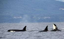 Orca Spy hopping with Pod of Resident Orcas of the coast near Sechelt, BC stock photography