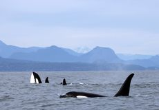 Orca Spy hopping with Pod of Resident Orcas of the coast near Sechelt, BC. Resident pod of Orca`s aka Killer Whales, of the coast of British Columbia Canada royalty free stock images
