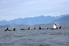 Orca Spy hopping with Pod of Resident Orcas of the coast near Sechelt, BC. Resident pod of Orca`s aka Killer Whales, of the coast of British Columbia Canada stock images